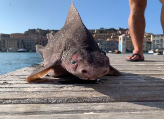 Pesce porco trovato all'isola d'elba: un ritrovamento inaspettato
